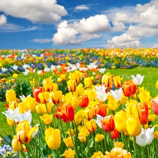 Colorful tulips - Fondos de pantalla gratis para iPad 2