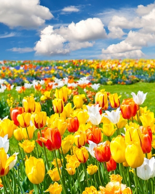 Colorful tulips Background for Nokia C2-02