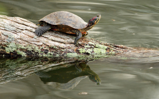 Turtle On The Log - Obrázkek zdarma