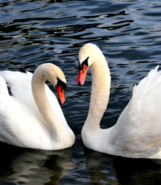 Free Two Beautiful Swans Picture for HTC Titan