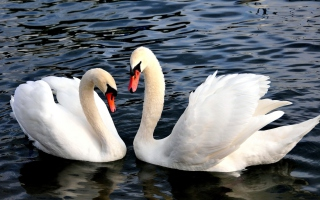 Free Two Beautiful Swans Picture for Android, iPhone and iPad
