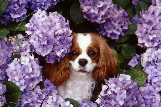 Lilac Puppy Picture for Android, iPhone and iPad