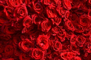 Roses flowering plant Background for Nokia X5-01