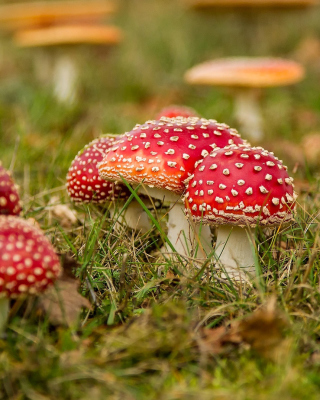 Free Amanita mushrooms Picture for HTC Titan