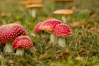 Amanita mushrooms sfondi gratuiti per cellulari Android, iPhone, iPad e desktop