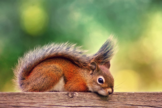 Little Squirrel Background for Android, iPhone and iPad