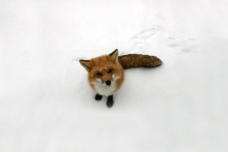 Lonely Fox On Snow sfondi gratuiti per cellulari Android, iPhone, iPad e desktop
