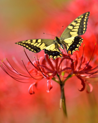 Macro Butterfly and Red Flower sfondi gratuiti per iPhone 6