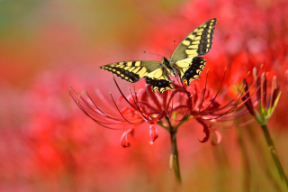 Kostenloses Macro Butterfly and Red Flower Wallpaper für Android, iPhone und iPad