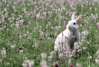 White Rabbit In Flower Field Wallpaper for Android, iPhone and iPad