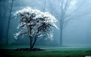 White Magnolia Tree Wallpaper for Android, iPhone and iPad