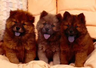 Free Chow Chow Picture for Android, iPhone and iPad