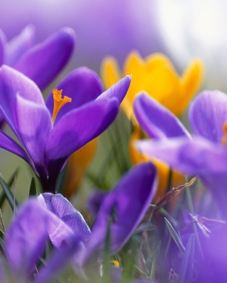Purple And Orange Crocuses Wallpaper for HTC Titan