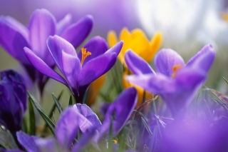 Purple And Orange Crocuses Background for Android, iPhone and iPad