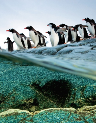 Penguins Picture for 360x640