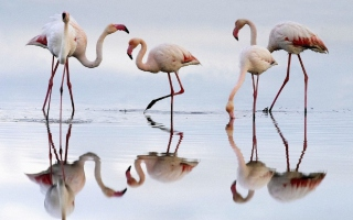 Flamingo Picture for Android, iPhone and iPad
