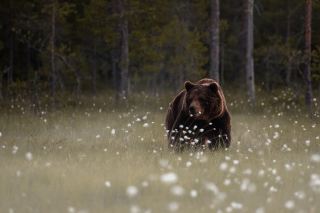Bear Walking Out Of Forest sfondi gratuiti per Samsung Galaxy S5