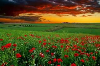 Poppy Field At Sunset papel de parede para celular para Fullscreen Desktop 1024x768
