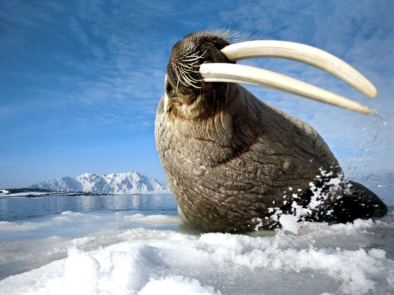 Walrus on ice floe screenshot #1 1280x960
