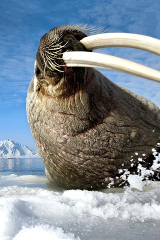 Sfondi Walrus on ice floe 320x480
