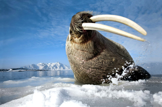 Walrus on ice floe Background for Android, iPhone and iPad
