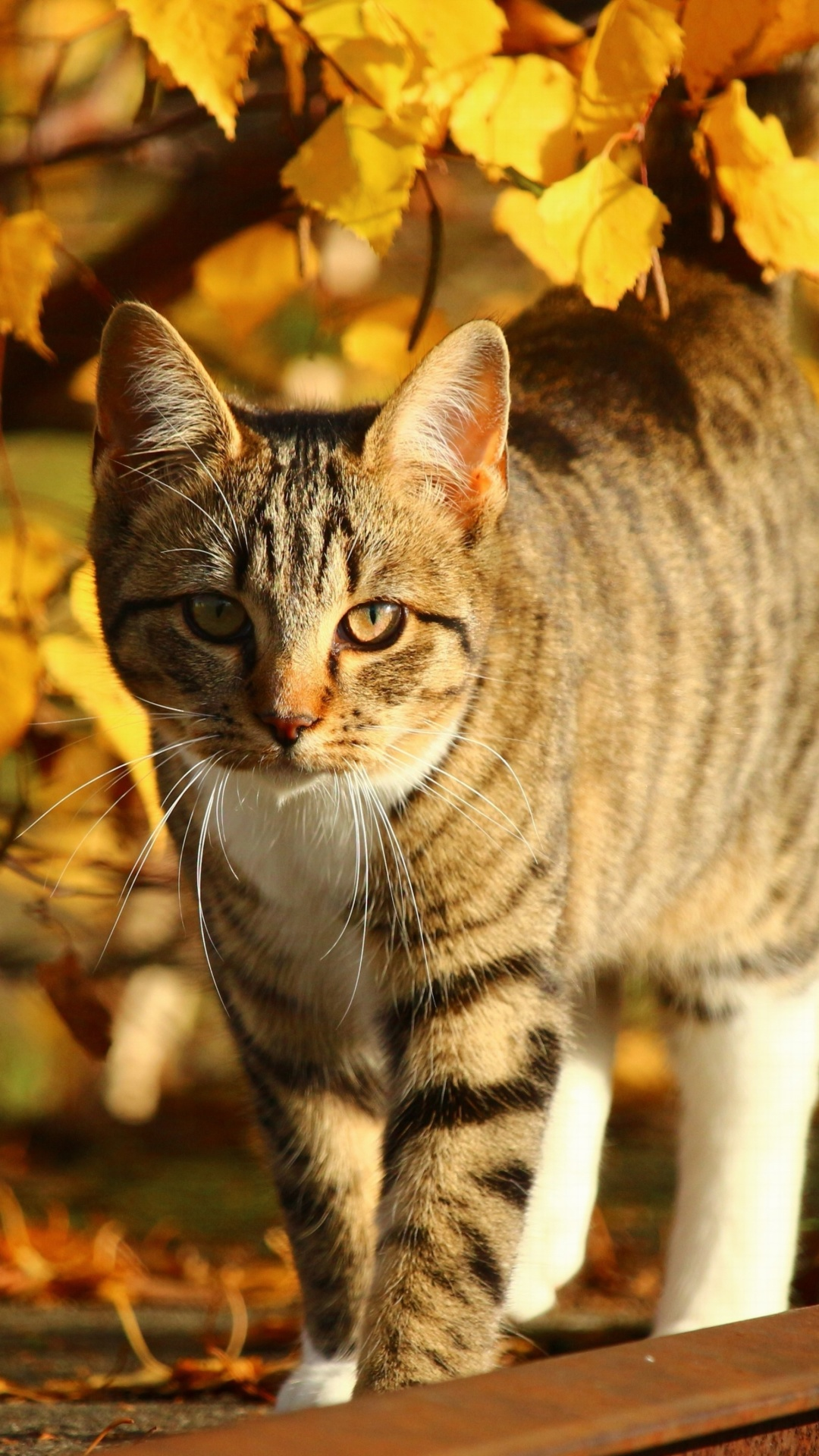 Screenshot №1 pro téma Tabby cat in autumn garden 1080x1920