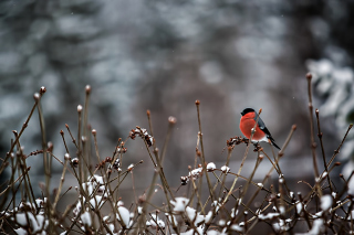Bullfinch Bird Background for Android, iPhone and iPad