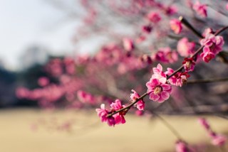 Plum Tree Blossom Background for Android, iPhone and iPad