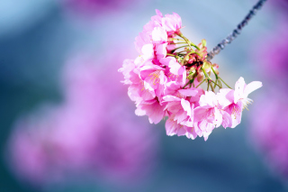 Free Cherry Blossom Picture for Android, iPhone and iPad