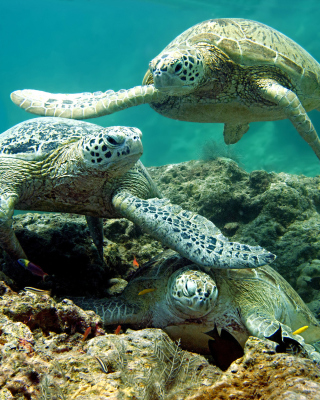 Underwater Sea Turtle HD Background for Nokia C1-01