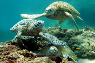 Underwater Sea Turtle HD Background for Android, iPhone and iPad