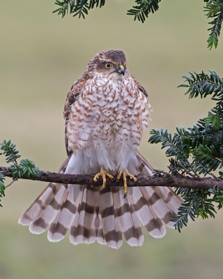 Hawk, Sparrowhawk Wallpaper for HTC Titan