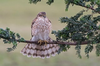 Hawk, Sparrowhawk Wallpaper for Samsung Galaxy Tab 4
