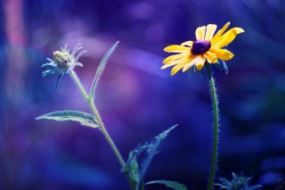 Yellow Flower On Dark Blue Background Picture for Android, iPhone and iPad