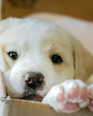 Free White Puppy Picture for 240x320