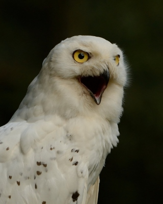Snowy Owl Wallpaper for Nokia Asha 306