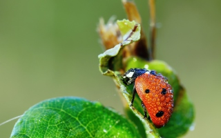 Free Ladybug Covered With Dew Drops Picture for Android, iPhone and iPad