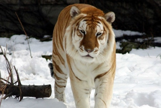 Tiger In Winter Wallpaper for Android, iPhone and iPad