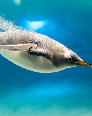 Penguin in Underwater Wallpaper for Nokia Asha 306