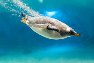 Penguin in Underwater Wallpaper for Android, iPhone and iPad