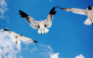 Seagulls sfondi gratuiti per cellulari Android, iPhone, iPad e desktop