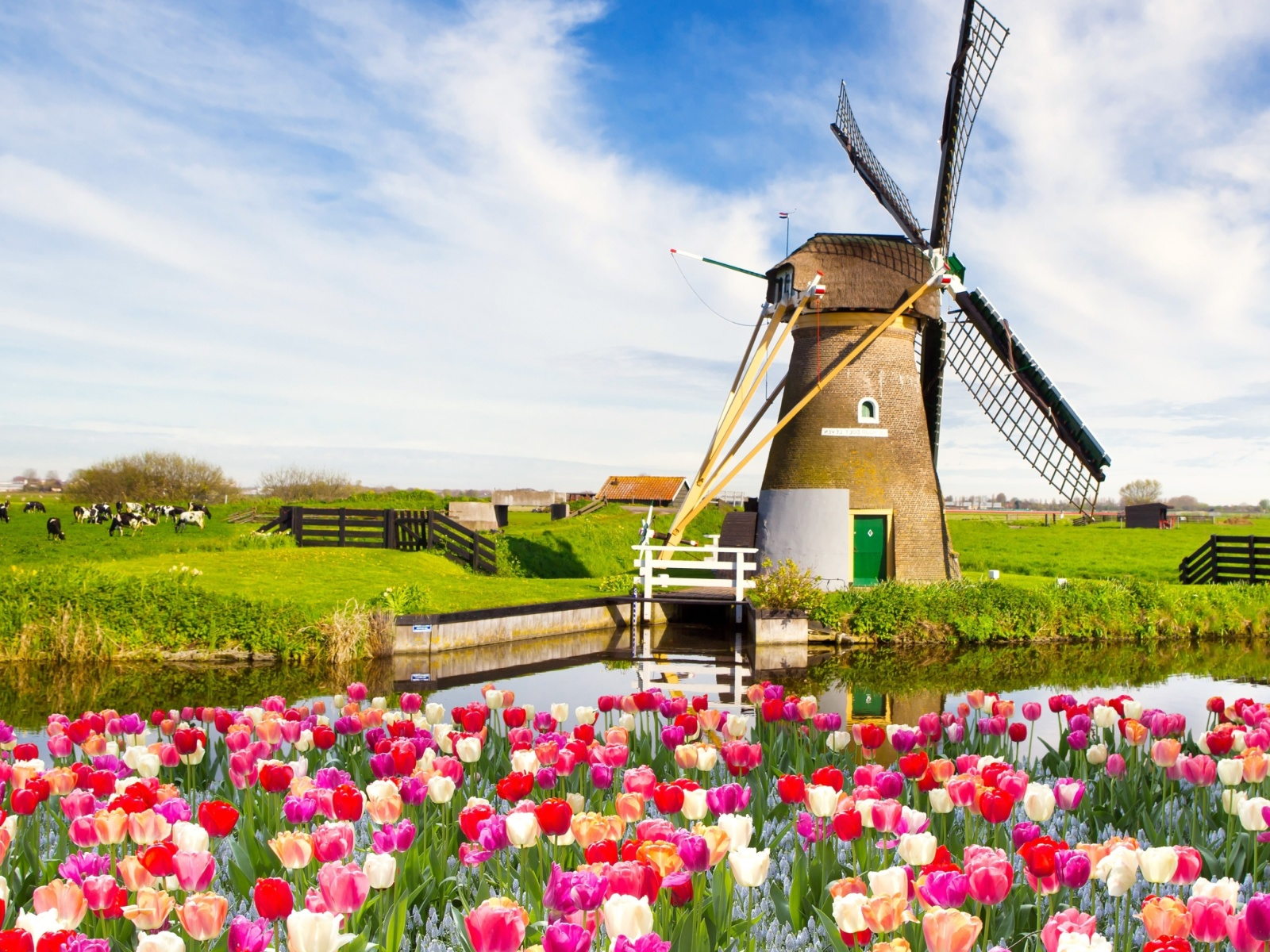Обои Mill and tulips in Holland 1600x1200