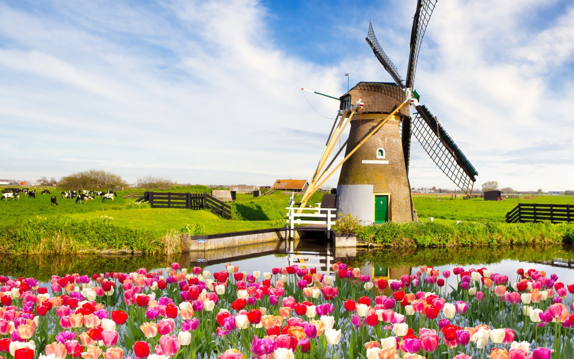 Mill and tulips in Holland wallpaper 1920x1200