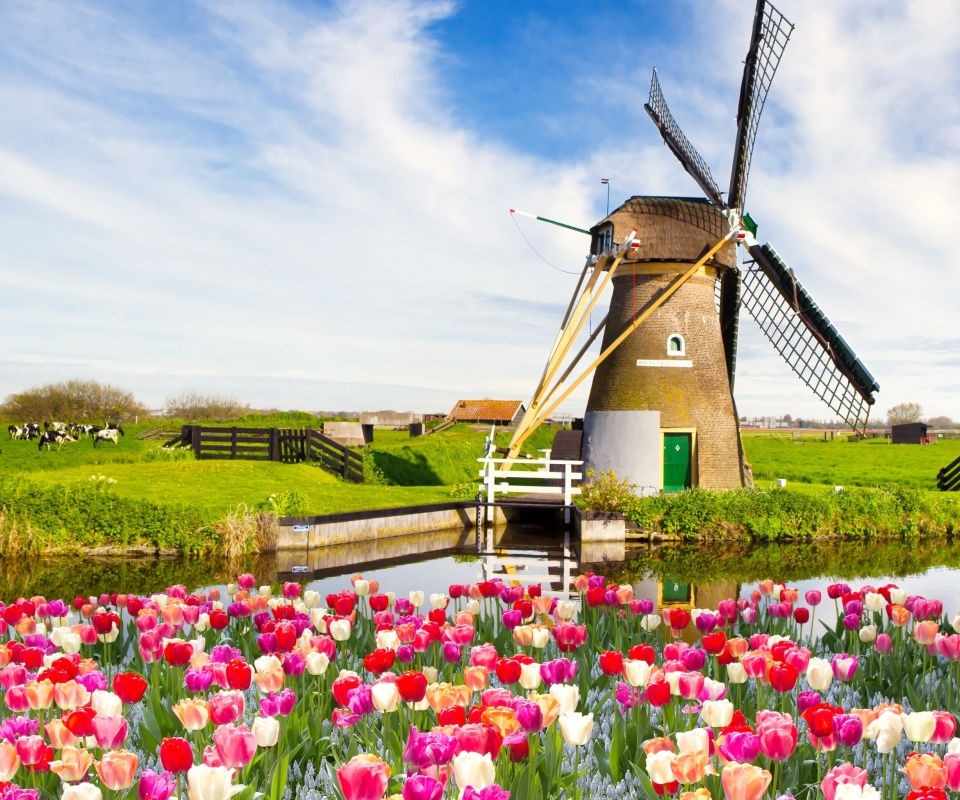 Fondo de pantalla Mill and tulips in Holland 960x800