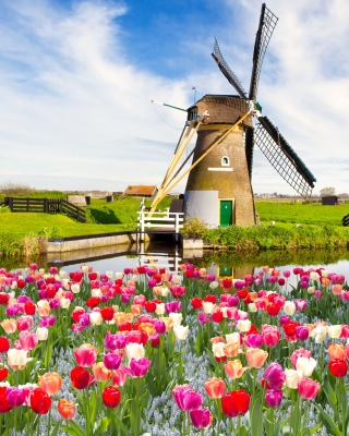 Mill and tulips in Holland sfondi gratuiti per 640x960