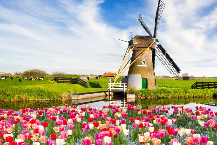 Mill and tulips in Holland wallpaper