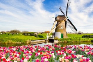 Mill and tulips in Holland Background for Android, iPhone and iPad