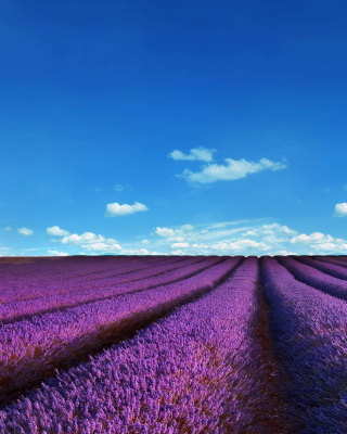 Lavender Fields Location Wallpaper for Nokia Asha 306
