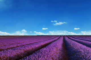 Lavender Fields Location Background for Nokia XL