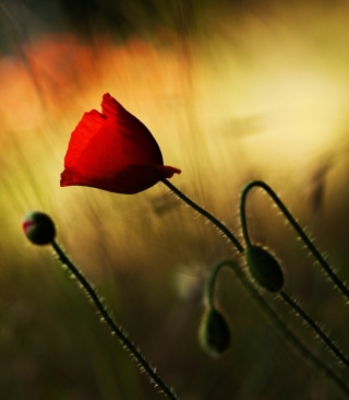 Beautiful Red Poppy sfondi gratuiti per iPhone 6